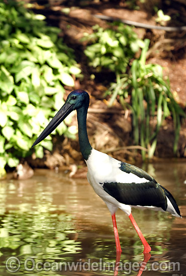 Black-necked Stork (Ephippiorhynchus asiaticus). Also known as Jabiru. Wetlands of Northern Australia Photo - Gary Bell