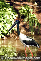 Black-necked Stork Ephippiorhynchus asiaticus Photo - Gary Bell