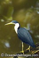 Pied Heron Ardea picata photo