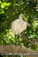 Yellow-billed Spoonbill Blatalea flavipes Photo - Gary Bell
