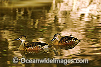 Wandering Whistling-duck Dendrocygna arcuata Photo - Gary Bell