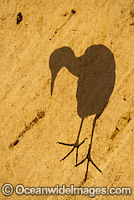 Shadow of a Pied Heron