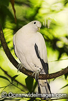 Pied Imperial-pigeon Ducula bicolor Photo - Gary Bell