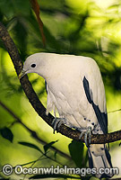 Pied Imperial-pigeon Photo - Gary Bell