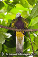 Wompoo Fruit-Dove image