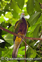 Wompoo Fruit-Dove Ptilinopus magnificus Photo - Gary Bell