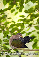 Emerald Dove Chalcophaps indica Photo - Gary Bell