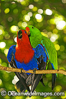 Eclectus Parrot male and female mating