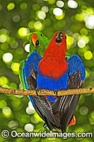 Eclectus Parrot mating Photo - Gary Bell