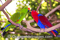 Eclectus Parrot male and female