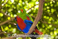 Eclectus Parrots mating Photo - Gary Bell