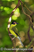 Fig Bird Sphecotheres viridis Photo - Gary Bell