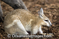 Northern Nailtail Wallaby Onychogalea unguifera