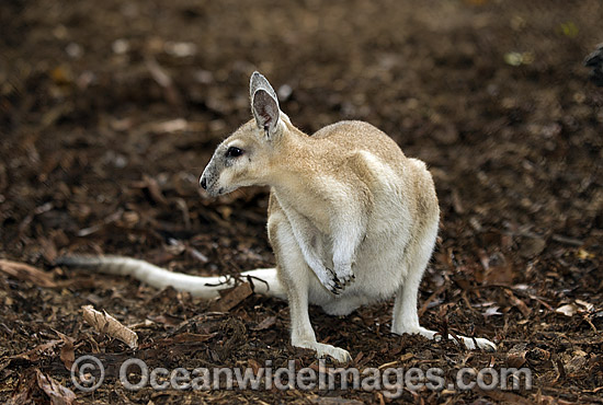 Northern Nailtail Wallaby (Onychogalea unguifera). Also known as Organ-grinder, Karrabul and Sandy Nailtail. Open woodland of Northern Australia Photo - Gary Bell