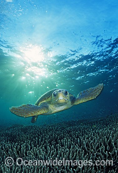 Loggerhead Sea Turtle (Caretta caretta). Great Barrier Reef, Queensland, Australia. Found in tropical and warm temperate seas worldwide. Endangered species listed on IUCN Red list. Photo - Gary Bell