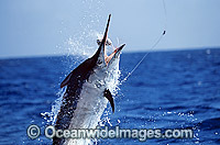 Black Marlin Makaira indica breaching Billfish Photo - John Ashley