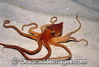 Southern Sand Octopus Photo - Bill Boyle