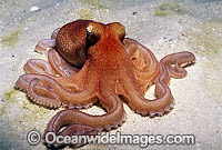 Southern Sand Octopus Octopus kaurna Photo - Bill Boyle