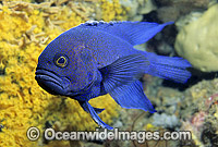 Southern Blue Devilfish Photo - Bill Boyle
