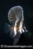Short Boarfish Parazanclistius hutchinsi Photo - Bill Boyle