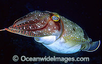 Broadclub Cuttlefish exhaust siphon Photo - Gary Bell