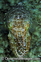 Broadclub Cuttlefish Sepia latimanus Photo - Gary Bell