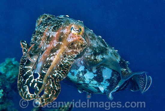 Broadclub Cuttlefish (Sepia latimanus). Northern Great Barrier Reef, Queensland, Australia
