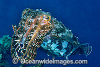 Broadclub Cuttlefish Photo - Gary Bell