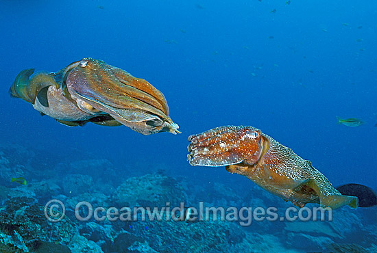Giant Cuttlefish (Sepia apama) - male courting a female. Solitary Islands, New South Wales, Australia