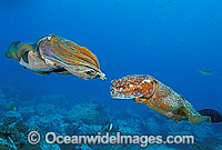 Giant Cuttlefish male courting female Photo - Gary Bell