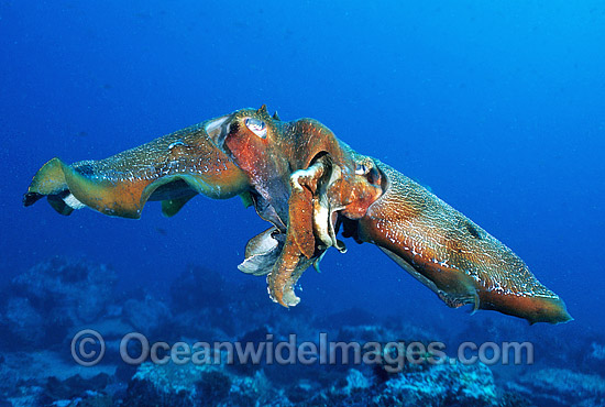 Giant Cuttlefish (Sepia apama) - male and female pair mating. Solitary Islands, New South Wales, Australia