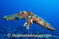 Giant Cuttlefish male female pair mating Photo - Gary Bell