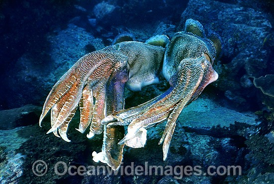 Giant Cuttlefish two rivalling males photo