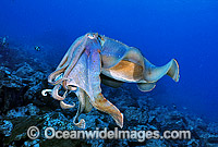 Giant Cuttlefish Sepia apama Photo - Gary Bell