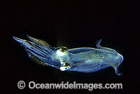 Luminous Bay Squid Loliolus noctiluca Photo - Gary Bell