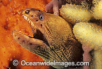 Green Moray Eel in sponge