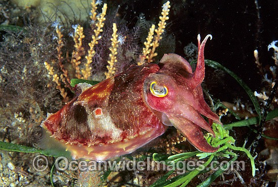 Reaper Cuttlefish Sepia mestus photo