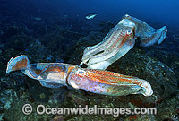 Giant Cuttlefish rivalling males Photo - Gary Bell