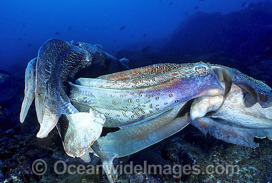 Giant Cuttlefish (Sepia apama) - two rivalling males. Solitary Islands, New South Wales, Australia