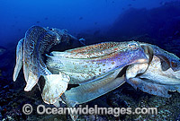 Giant Cuttlefish two rivalling males Photo - Gary Bell