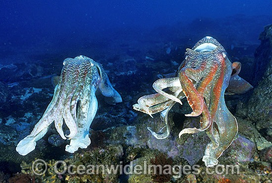 Giant Cuttlefish males photo