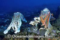 Giant Cuttlefish males Photo - Gary Bell