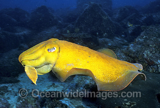 Giant Cuttlefish (Sepia apama) - unusual yellow pigment display. Solitary Islands, New South Wales, Australia