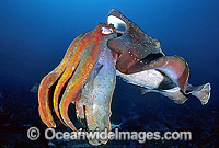 Giant Cuttlefish Photo - Gary Bell