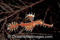 Harlequin Ghost Pipefish Photo - Gary Bell