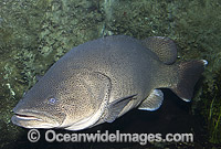 Murray Cod Maccullochella peelii peelii Photo - Gary Bell