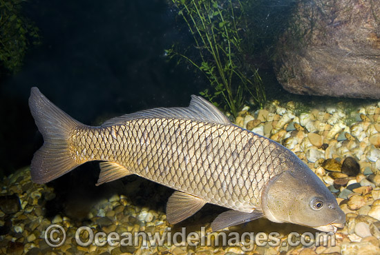 European Carp (Cyprinus carpio). Also known as Common Carp, German Carp, Leather Carp, Mirror Carp and Koi. Introduced Freshwater Pest Species, found extensively in South Eastern Australia and the Murray-Darling Basin, Australia