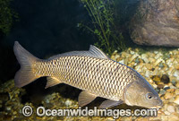 European Carp Cyprinus carpio photo
