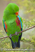 Eclectus Parrot Photo - Gary Bell