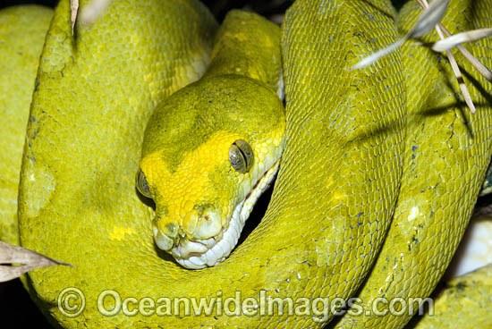 Green Python Morelia v...